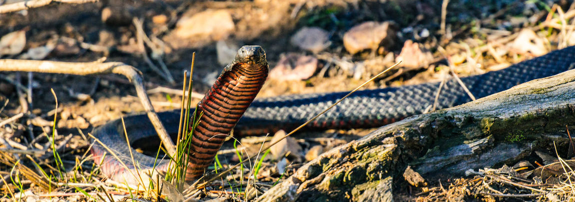 Red-Bellied Black snake (Pseudechis porphyriacus) Pseudechis Porphyriacus Red-Bellied Black Snake Reptile Snake Wildlife & Nature Abc My Photo Amazing Animals Animal Animal Themes Animal Wildlife Australian Fauna Beauty In Nature Close-up Fauna Nature No People Outdoors Photowalk Sony Photography Winton Wetlands The Great Outdoors - 2018 EyeEm Awards The Great Outdoors - 2018 EyeEm Awards