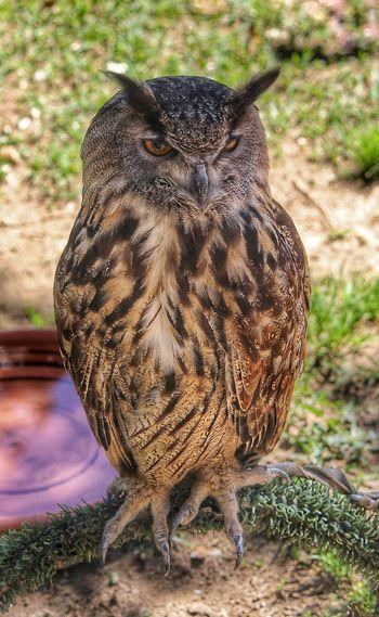 Animal Animal Head  Animal Themes Beauty In Nature Bird Of Prey Captive Owl Close-up Nature Owl Owl Eyes Owl Full Length Owl On Perch Owl Photography Owl Portrait Owl Portrait. Owls Portrait Tawny Owl Wildlife
