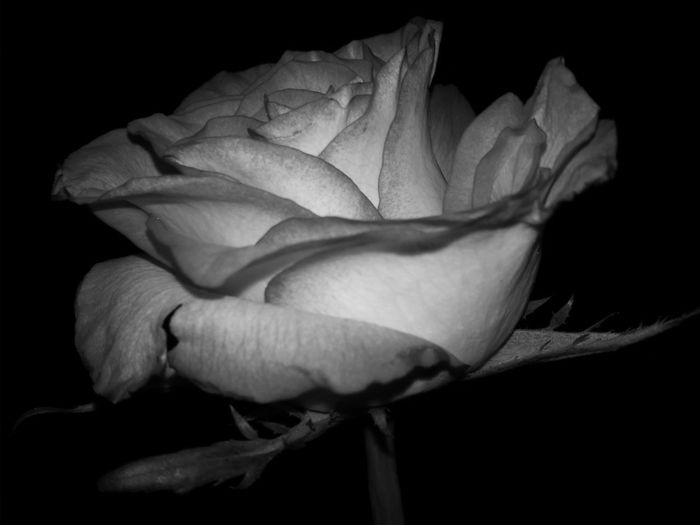 Blackandwhite B&w Precision Perfect Day Black&white Roses Rose🌹 Rosa🌹 Check This Out Flowers