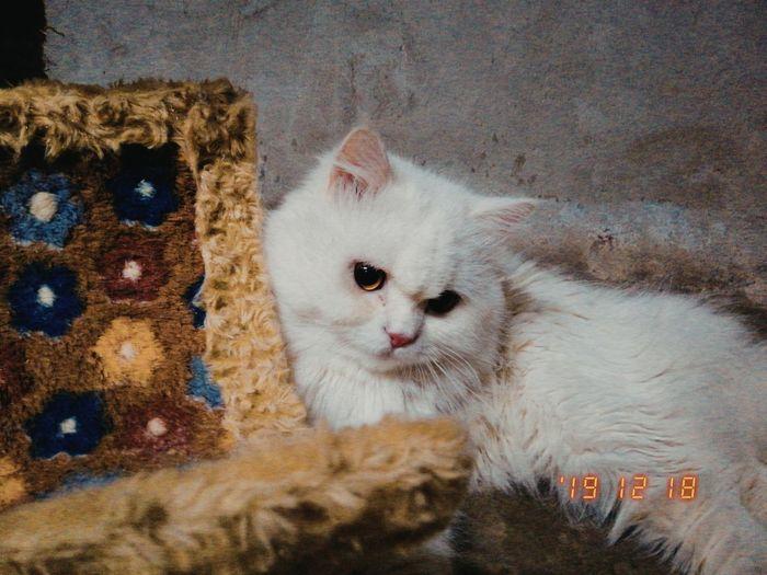 Pets Portrait Feline Domestic Cat Looking At Camera Kitten Cat Animal Themes Close-up