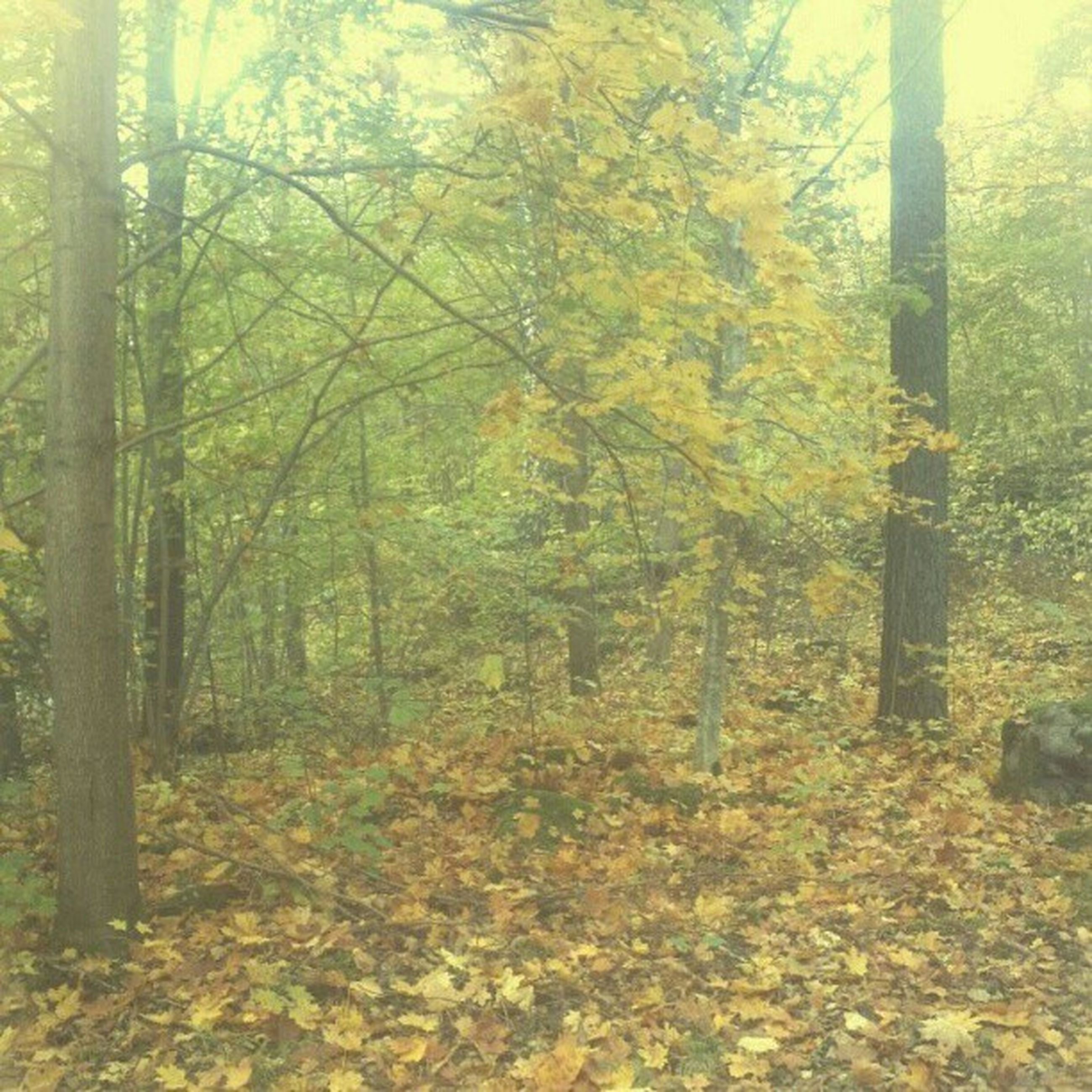 tree, forest, tranquility, autumn, growth, tranquil scene, nature, tree trunk, change, beauty in nature, woodland, scenics, season, branch, non-urban scene, yellow, leaf, landscape, day, outdoors
