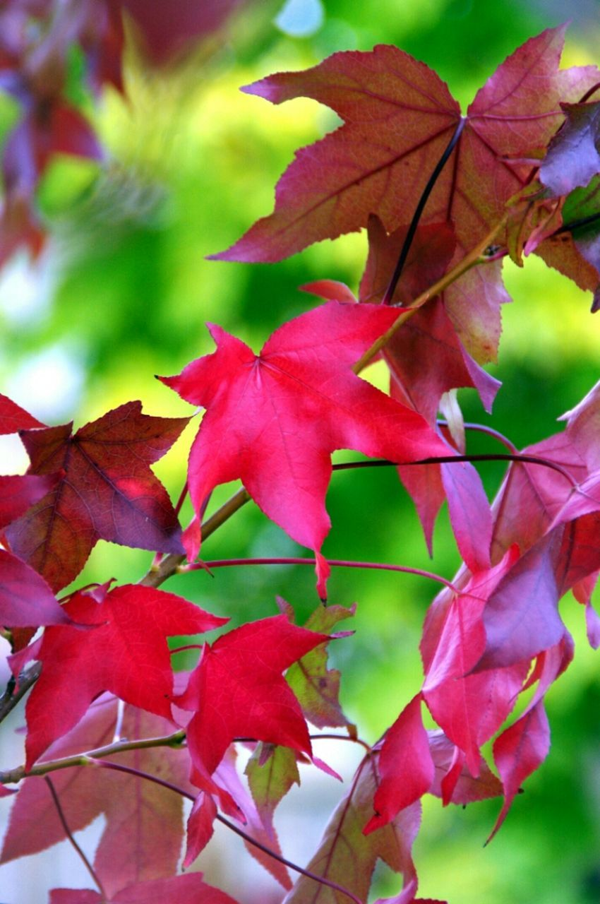 autumn, leaf, change, nature, maple leaf, beauty in nature, leaves, maple, day, growth, red, outdoors, close-up, no people, tranquility, scenics, fragility, tree