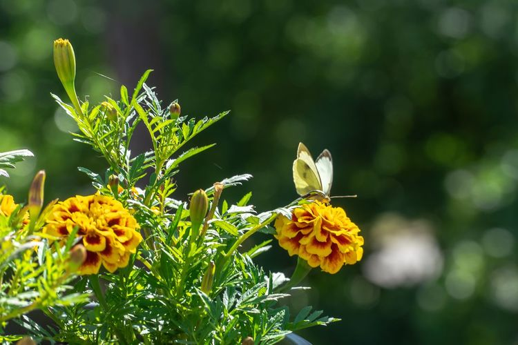 Butterfly And Flowers Butterfly On Flower Flower Flowering Plant Plant Beauty In Nature Growth Fragility Vulnerability  Freshness Focus On Foreground Animal Themes Animals In The Wild Flower Head Nature Animal Animal Wildlife Yellow Inflorescence