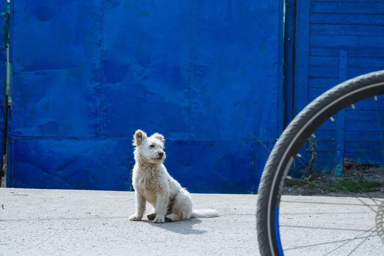 Portrait of a dog sitting against blue wall