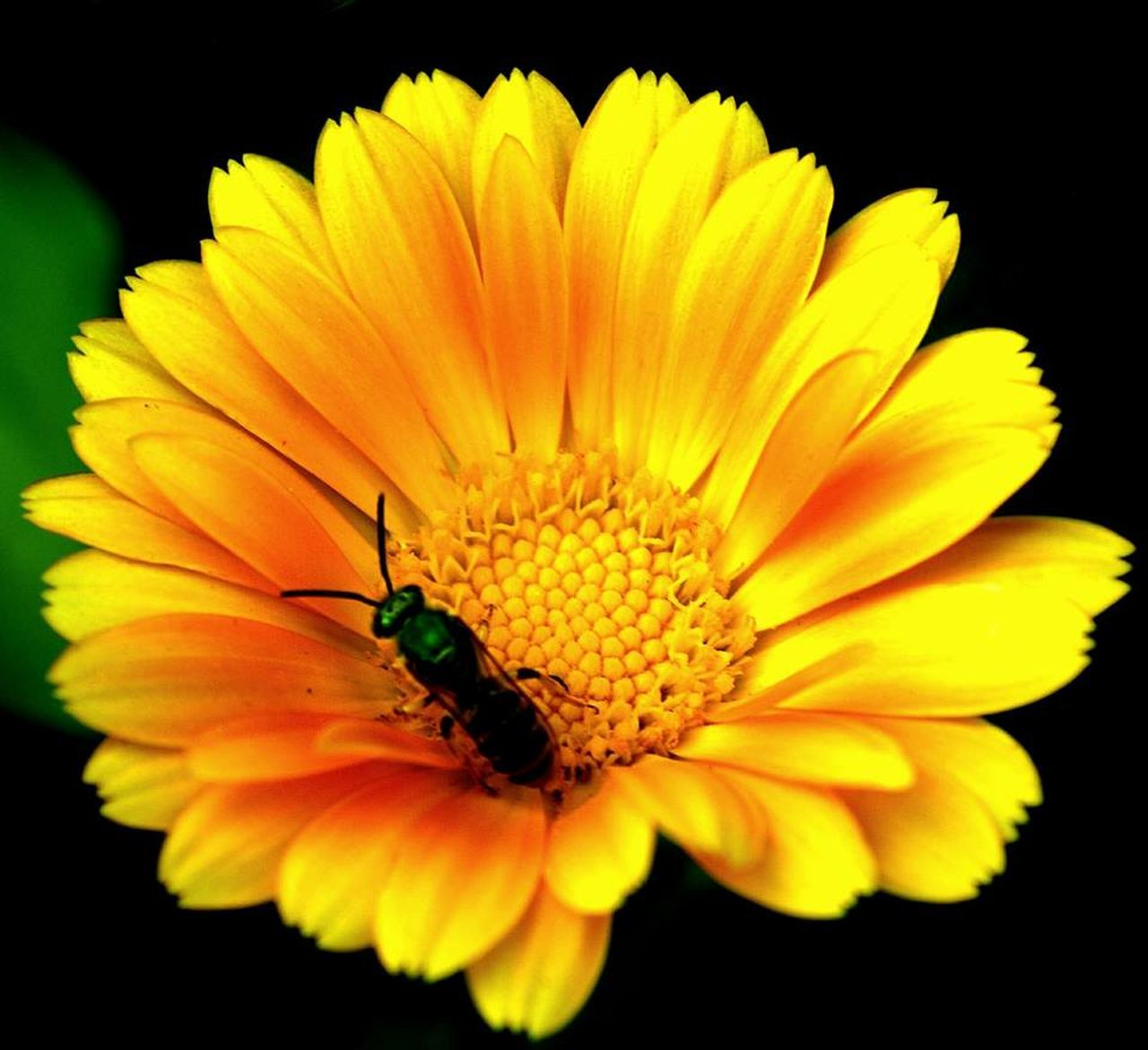 flower, petal, yellow, beauty in nature, flower head, fragility, nature, freshness, one animal, pollen, growth, animal themes, insect, no people, close-up, blooming, black background, plant, animals in the wild, outdoors, day
