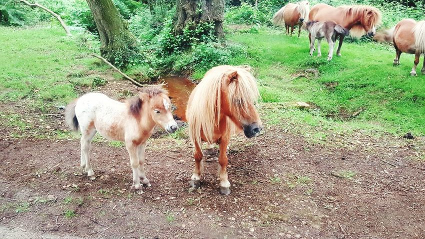 Ponies Newforestpony in the Newforest UK