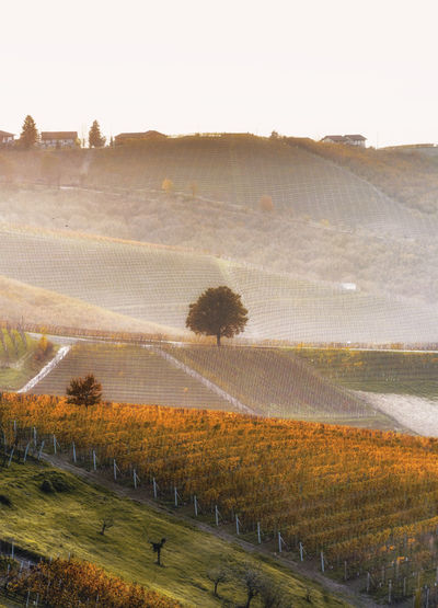 Scenic View Of Vineyard Against Clear Sky During Sunset