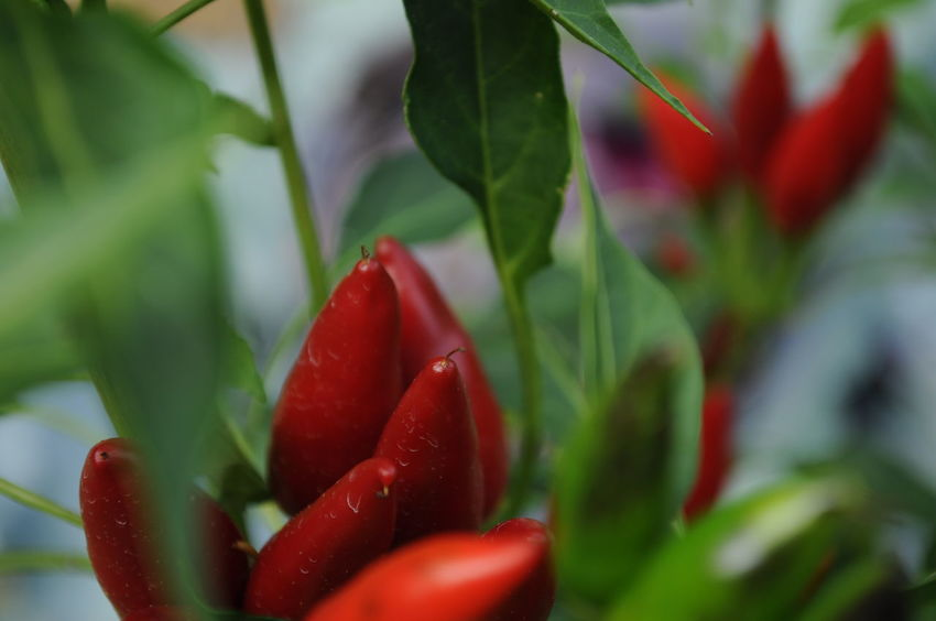 Beauty In Nature Chillies Red Country Life Countryside Leaf Nature Red Vegetables