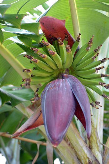 My backyard...apple banana tree. Banana Tropical Plants My Back Yard