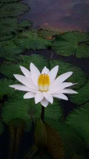 In the Lake, In the Park, White Lotus, Open Edit. Eyeem Gallery Taking Photos.