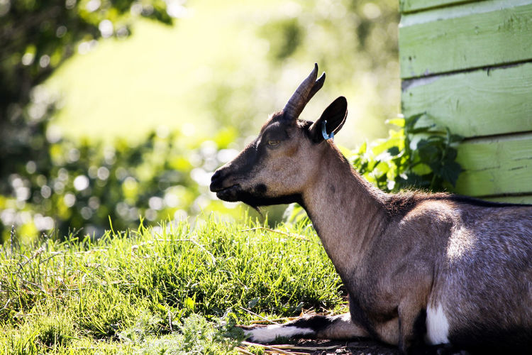 A goat sitting in the shade. Farm Goat Goats Animal Animal Themes Animal Wildlife Animals In The Wild Day Field Focus On Foreground Grass Green Color Herbivorous Land Mammal Nature No People One Animal Outdoors Plant Tree Vertebrate