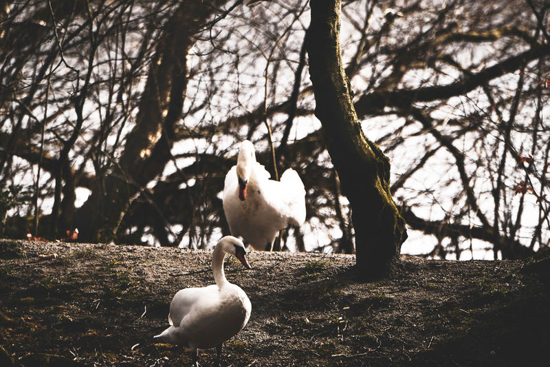 Animals In The Wild Bird Animal Wildlife Vertebrate Animal Themes Group Of Animals Tree Animal Plant Nature No People Day Two Animals Branch Water Bird Goose Focus On Foreground Beauty In Nature Swan Outdoors Animal Family