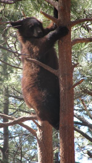 Bearizona. Little Bear On A Tree. Tree One Animal Animal Themes Branch Mammal Animals In The Wild No People Tree Trunk Day Outdoors Nature Koala Welcome To Black The Great Outdoors - 2017 EyeEm Awards Been There. Done That. Perspectives On Nature
