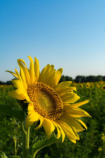 Close-up of sunflower blooming on field against clear sky
