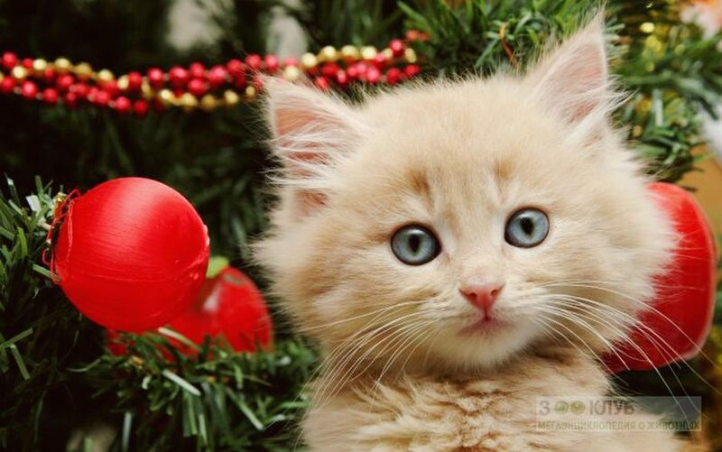 Domestic Animals Animal Themes Domestic Cat Pets One Animal Cat Whisker Mammal Close-up Animal Head  Feline Red Day Looking At Camera Focus On Foreground Looking Kitten Vibrant Color