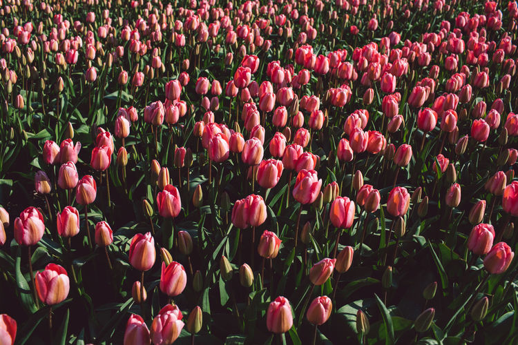 High angle view of red tulips in field