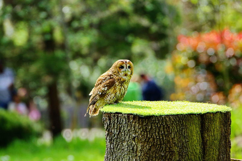 Owl Eyes Owl Photography Owl Sashalmi Sashalmi László Bird Bird Photography Bird Watching Animal Animal Wildlife Animal Themes Animals In The Wild Focus On Foreground One Animal Vertebrate Perching Tree Day Nature Plant No People Outdoors Green Color Tree Trunk Post Park Wood - Material Wooden Post Bark
