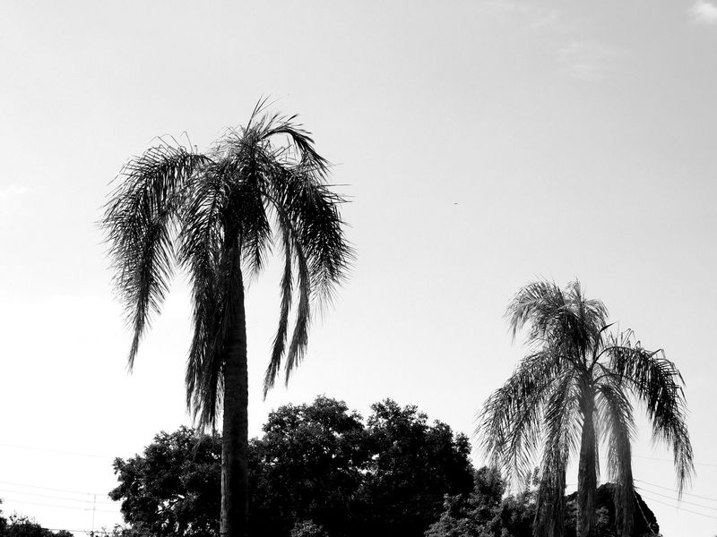 Monochrome Photography Blackandwhite Outdoors Nature Palm Trees Palms Paradise Beauty In Nature Florida Nature Florida Beauty EyeEm Nature Lover Tropical Tropical Paradise Tropical Beauty Florida Palmtrees Trees Trees And Sky Trees And Nature Beach Life Travel Vacations Hugging A Tree White Sky Relaxing View Florida