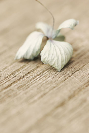 Hydrangea blossom on wood Bleached Blossom Board Close-up Day Death Dried Flowers Dry Flower Fragile Fragile Beauty Fugacity Garden Table Grain Hydrangea Indoors  Macro Macro Photography Melancholy Muted Colours No People Structure Table Textured  Wood - Material