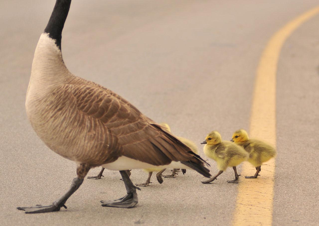 Goose With Goslings Walking On Road