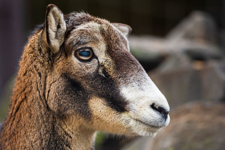 Close-up of kid goat