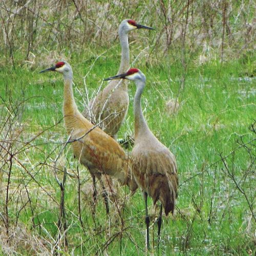 Animals In The Wild Bird Animal Wildlife Nature Field Outdoors Beauty In Nature Sandhill Crane Sandhill Cranes