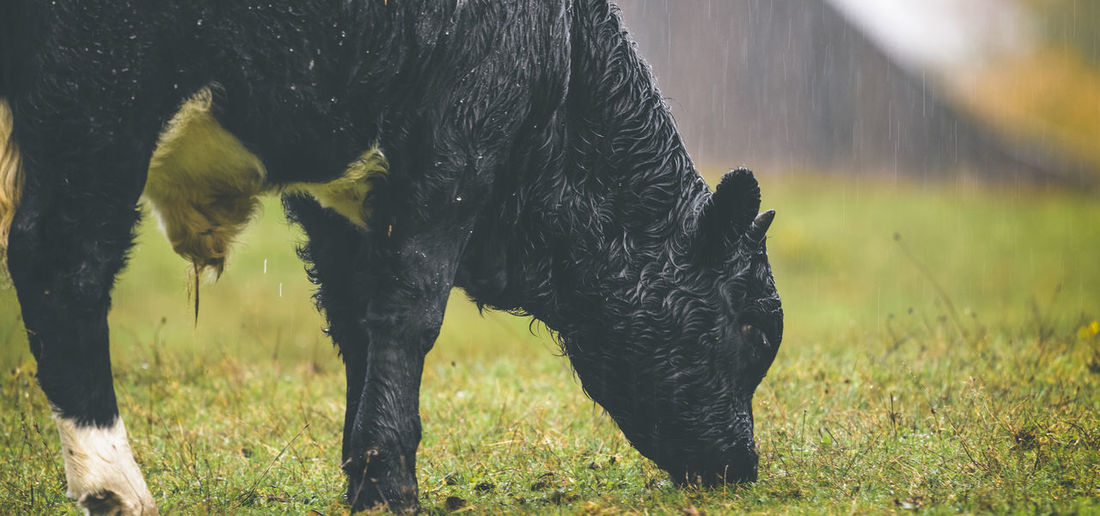 Calf Grazing On Field During Rainy Season