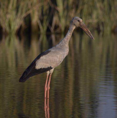 looking for something Open Billed Stork Bird Ibis Water Reflection Close-up Stork Wetland Heron Great Egret