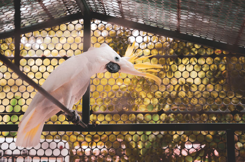 ALÓ? Cockatoo EyeEm Nature Lover Friends Animal Animal Themes Animal Wildlife Animals In Captivity Animals In The Wild Bird Boundary Cage Chainlink Fence Close-up Day Feather  Fence Focus On Foreground Metal Nature No People One Animal Outdoors Vertebrate White Color Yellow