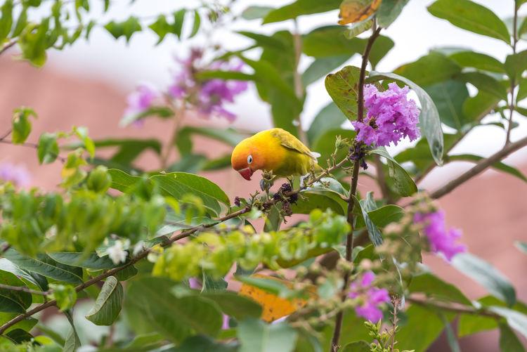 Bird (Lovebird,