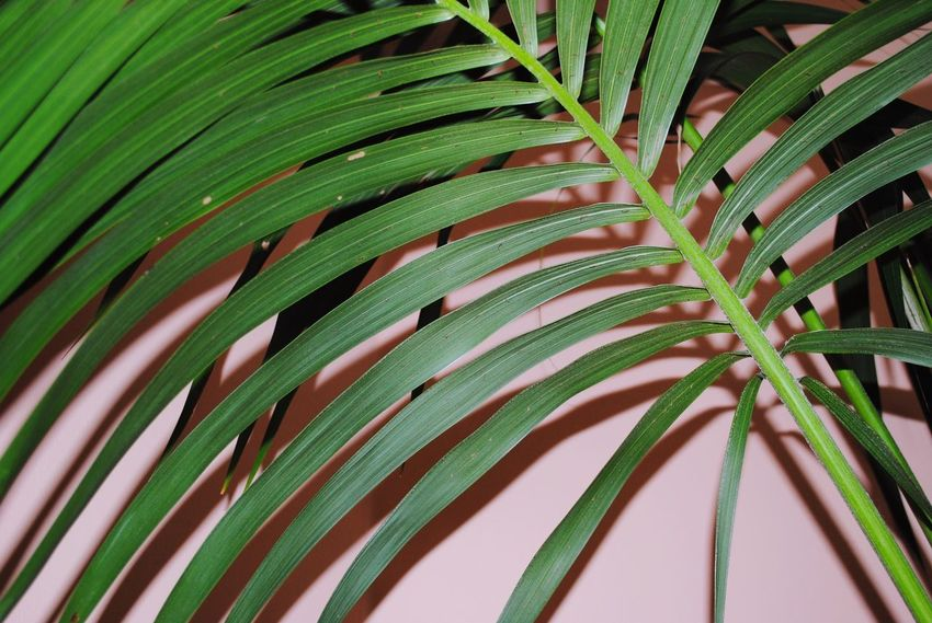 Growth Nature Green Color Leaf Tree Palm Tree Backgrounds Freshness Flash Pink Color