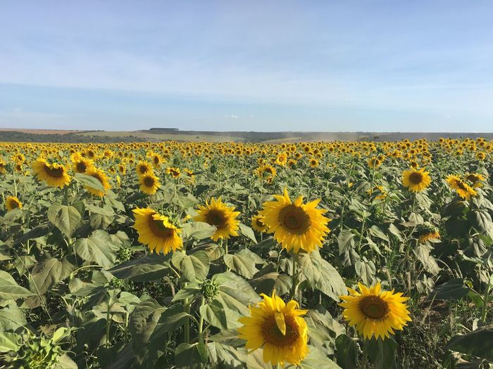 Sunflowers Growing In Field