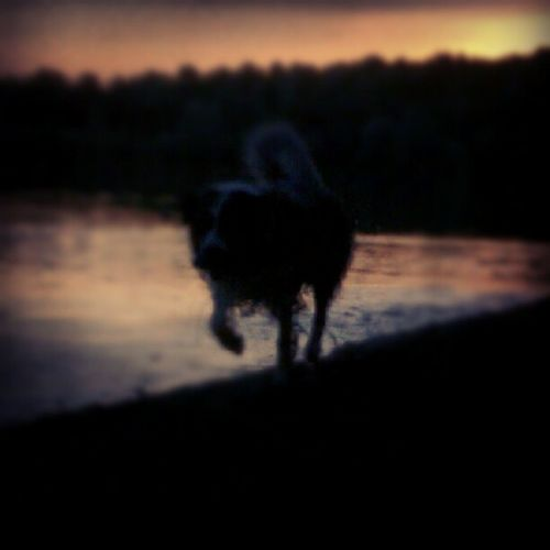 Aidan at dusk #koeln #köln #cologne #dogs #sunset #dusk #igerscologne Sunset Dusk Dogs Cologne Köln Koeln Igerscologne