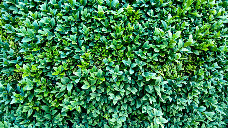 Background Background Texture Beauty In Nature Blatt, Blätter Botanical Botany Buchsbaum Buxus Green Grün Hintergrund Leaf Leaves No People Outdoors Pfanzen Plant Plants Texture Texturen Textures And Surfaces