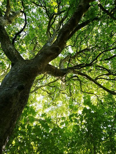 Low Angle View Tree Branch Tree Trunk Growth Tranquility Green Color Scenics Nature Tree Canopy  Day Tranquil Scene Beauty In Nature Full Frame Green Outdoors Lush Foliage Single Tree Tall EyeEm Best Shots Eye4photography  Naturelover