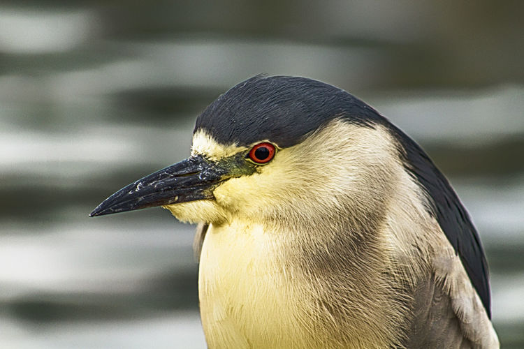 Close-up of black crowned night heron outdoors