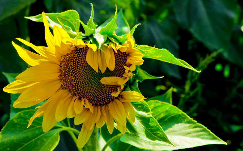 Close-up of butterfly pollinating on sunflower