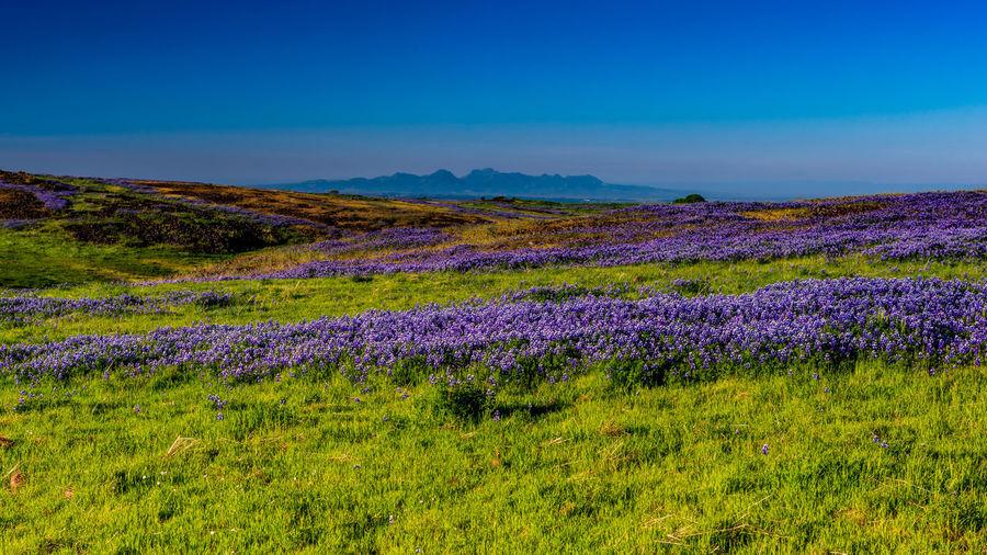Purple flowers on field against blue sky