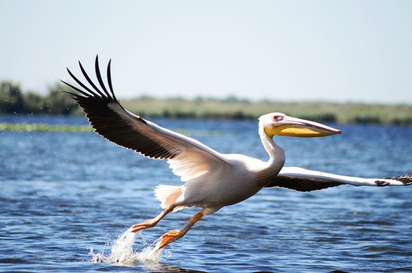 Flying Pelican in Danube DanubeDelta Danube Delta ,romania Made In Romania Original Experiences Hidden Gems