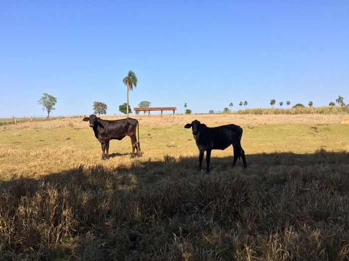 Cows standing on grassy field