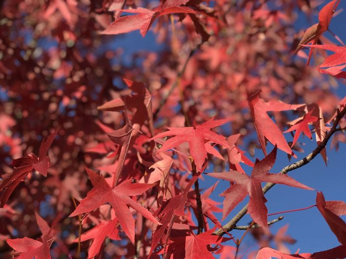 Close-up of red maple leaves on tree