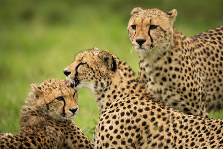 Close-up of cheetah watching mother cleaning cub
