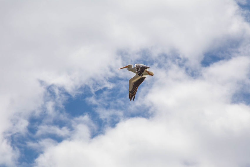 Large sea bird flapping wings while flying in cloudy blue sky. Sea Birds Animal Animal Themes Animal Wildlife Animals In The Wild Bird Cloud - Sky Day Flying Freedom Low Angle View Mid-air Motion Nature No People One Animal Outdoors Sea Bird Seagull Sky Spread Wings Stork Vertebrate