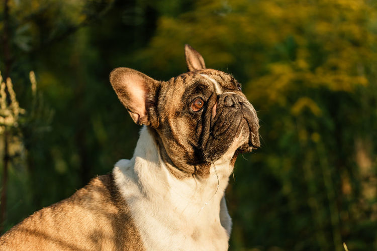 Brown Eyes Dogs French Bulldog Puppy Pet Photography  Pet Portraits Side Face Animal Animal Photography Animal Portrait Dog Photography Dog Portrait Französische Bulldogge  French Bulldog Golden Hour Golden Hour Photography No People Side View EyeEmNewHere