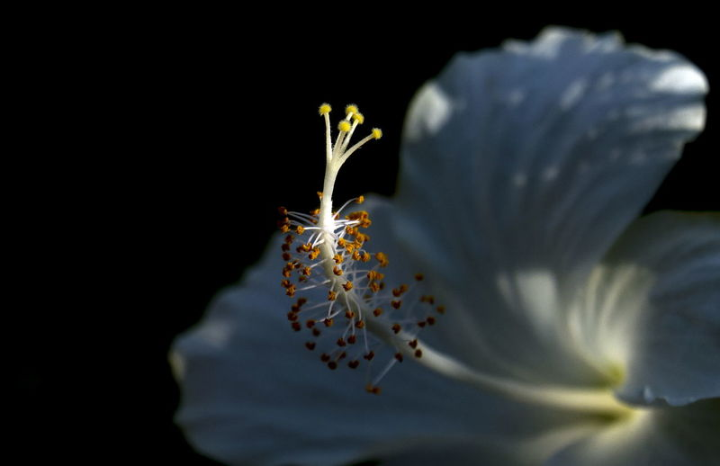 Sunlight falling on white hibiscus