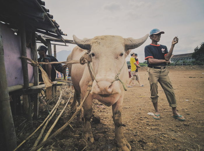 Cow tied up by man in village