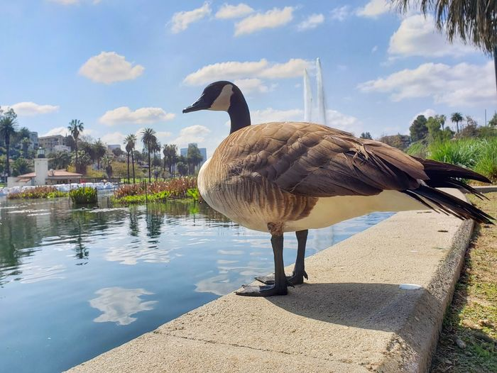 Wild Goose Chase Fountain Goose Blue Lake Family Walking Around State Park  Pond Lily Pads Silver Lake Echo Park  Angeles Temple Springtime Spring Has Arrived Water Bird Tree Lake Sky Animal Themes