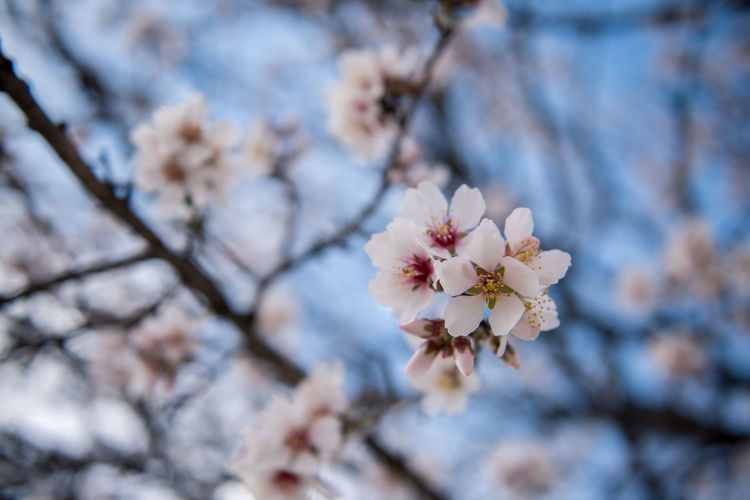 Flowering Plant Plant Flower Freshness Fragility Tree Blossom Cherry Blossom Growth Branch Nature Springtime Cherry Tree No People Outdoors Almond Tree Almond Blossom Blooming Beauty In Nature Vulnerability  Close-up Day White Color Focus On Foreground Petal Fruit Tree Flower Head Pollen