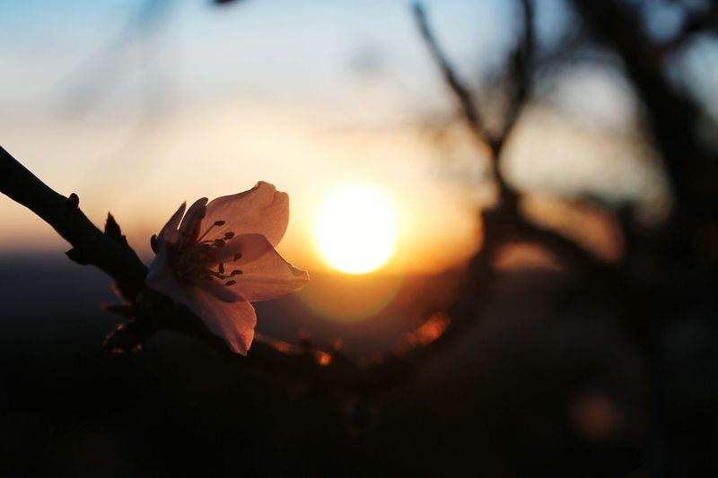 Close-up of flowers against sunset