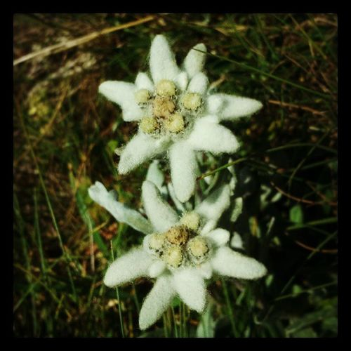 Edelweiss Rax